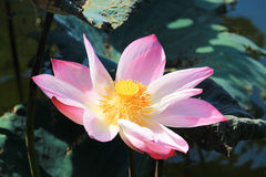 Beautiful pink lotus in an outdoor garden. Royalty Free Stock Photo