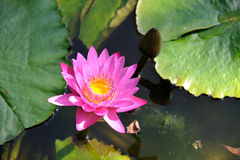A beautiful pink lotus Royalty Free Stock Photography