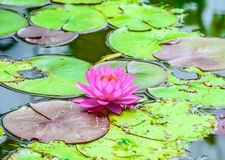 Beautiful pink lotus in the pond Royalty Free Stock Photography