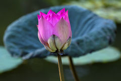 Beautiful pink lotus. Pink lotus in the porn, morning light Stock Photos