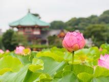 Beautiful pink lotus in Ueno park, Tokyo, Japan Royalty Free Stock Photography