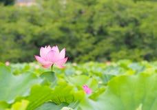 Beautiful pink lotus in Ueno park, Tokyo, Japan Royalty Free Stock Photos