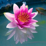 Beautiful Pink Lotus, water lily Royalty Free Stock Photos