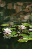 Beautiful Pink Lotus, water plant with reflection. In a pond Royalty Free Stock Images