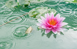 Beautiful Pink Lotus, water plant with reflection Royalty Free Stock Photos