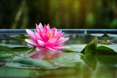 Beautiful Pink Lotus, water plant with reflection Stock Image
