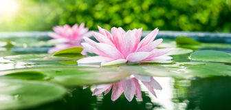 Beautiful Pink Lotus, water plant with reflection in a pond stock photo