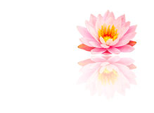 Beautiful Pink Lotus, water plant with reflection on white backg royalty free stock images