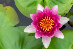 Beautiful pink lotus with yellow pollen. In swamp in park Stock Photo