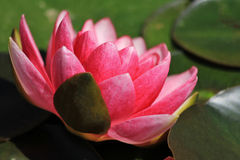 Beautiful in pink. A lovely lotus flower in the pond Stock Photos