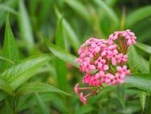 Beautiful pink lxora flower. royalty free stock photo