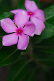 Beautiful pink Madagasca. In the park Stock Image