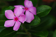 Beautiful pink Madagasca. In the park Royalty Free Stock Photos