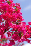 Beautiful pink magenta bougainvillea flowers and blue sky Royalty Free Stock Photography