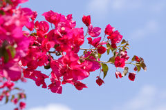 Beautiful pink magenta bougainvillea flowers and blue sky Royalty Free Stock Image