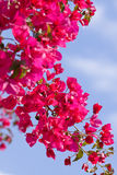 Beautiful pink magenta bougainvillea flowers and blue sky Stock Photography