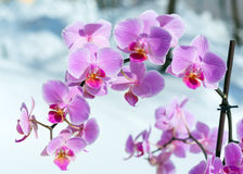 Pink orchid flower Royalty Free Stock Photography