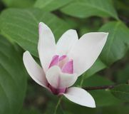 Beautiful pink magnolia Royalty Free Stock Photography