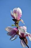 Beautiful pink magnolia blossoms Royalty Free Stock Image