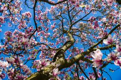 Beautiful pink magnolia on blue sky background, sunny day. Beautiful pink magnolia on blue sky background, sunny spring day royalty free stock photography