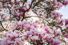 Beautiful pink magnolia on blue sky background, sunny day Royalty Free Stock Image