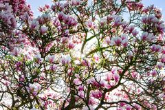 Beautiful pink magnolia on blue sky background, sunny day Stock Images