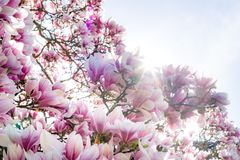 Beautiful pink magnolia on blue sky background, sunny day stock photo