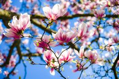 Beautiful pink magnolia on blue sky background, sunny day royalty free stock photography