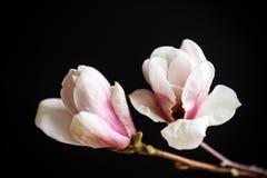 Beautiful pink magnolia flower Stock Image