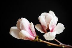 Beautiful pink magnolia flower Stock Image