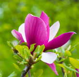 Beautiful pink magnolia flower blossom closeup Stock Images