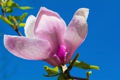 Beautiful pink magnolia flower blossom closeup. Beautiful pink spring magnolia flower blossom closeup Stock Photos