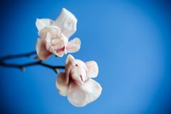 Beautiful pink magnolia flower Stock Photography
