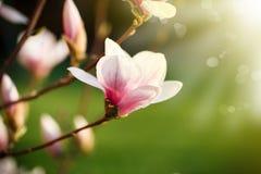 Beautiful pink magnolia flower Stock Photos