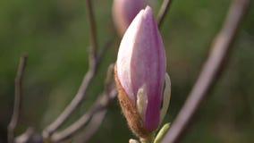 Beautiful pink magnolia flower in the wind in the garden. sun glare. 4k, slow motion stock video
