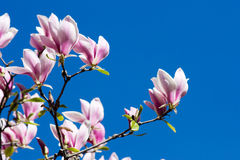 Beautiful Pink Magnolia Flowers Stock Photos