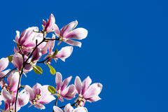 Beautiful Pink Magnolia Flowers Royalty Free Stock Photo