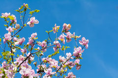 Beautiful pink magnolia flowers blossom. Beautiful pink spring magnolia flowers blossom over the blue sky Royalty Free Stock Photography