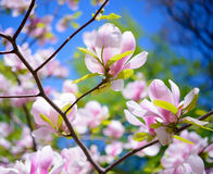 Beautiful Pink Magnolia Flowers on Blue Sky Background. Spring Floral Image Stock Images
