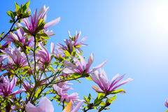 Beautiful Pink Magnolia Flowers on Blue Sky Background. Spring Floral Image Royalty Free Stock Images