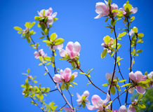 Beautiful Pink Magnolia Flowers on Blue Sky Background. Spring Floral Image Stock Photo