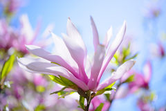 Beautiful Pink Magnolia Flowers on Blue Sky Background. Spring Floral Image Stock Image