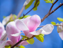 Beautiful Pink Magnolia Flowers on Blue Sky Background. Spring Floral Image Royalty Free Stock Photography