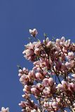 Beautiful Pink Magnolia Flowers Royalty Free Stock Image