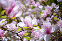 Beautiful Pink Magnolia Flowers. Spring Background Stock Photo