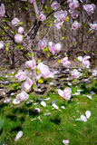 Beautiful Pink Magnolia Flowers. Spring Background Stock Images