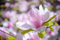 Beautiful Pink Magnolia Flowers. Spring Background Royalty Free Stock Photography