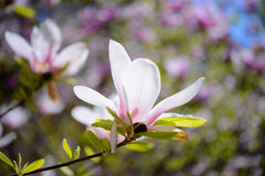 Beautiful Pink Magnolia Flowers. Spring Background Stock Image