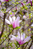 Beautiful Pink Magnolia Flowers. Spring Background Royalty Free Stock Photo