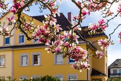Beautiful pink magnolia on yellow house background Royalty Free Stock Photos